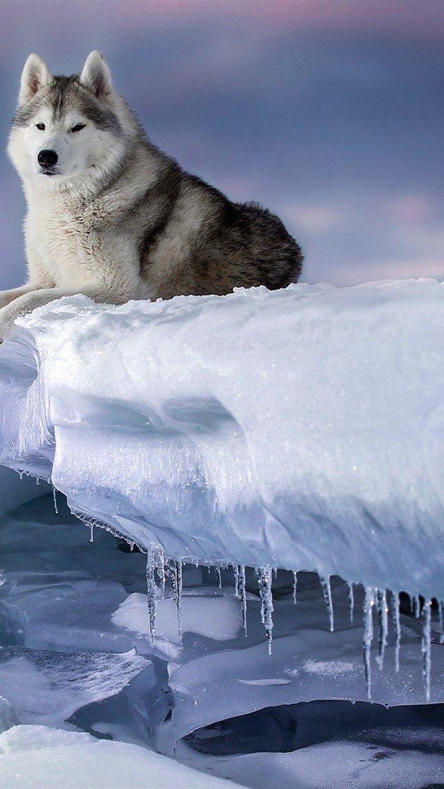 Alaskan Malamute Huskies Alaska Ice Snow Winter Dogs Sunset