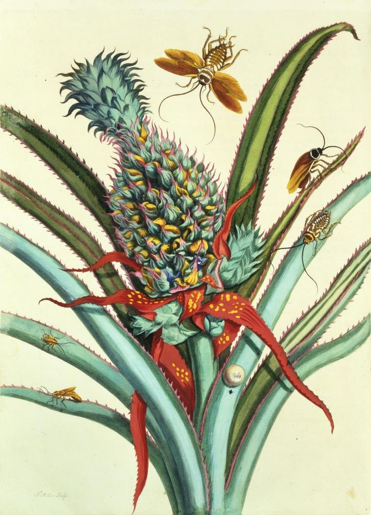 Maria Sibylla Merian, Plate 1 from Dissertation in Insect Generations and Metamorphosis in Surinam, 1719