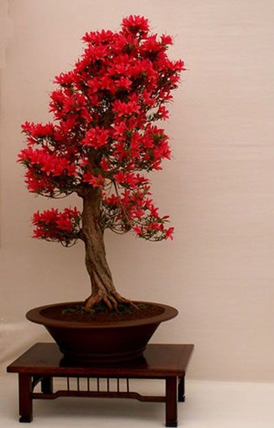 flowering bonsai ... The Japanese tend to focus on using native species for their bonsai - namely pines, azaleas and maples (regarded as the traditional bonsai plants).