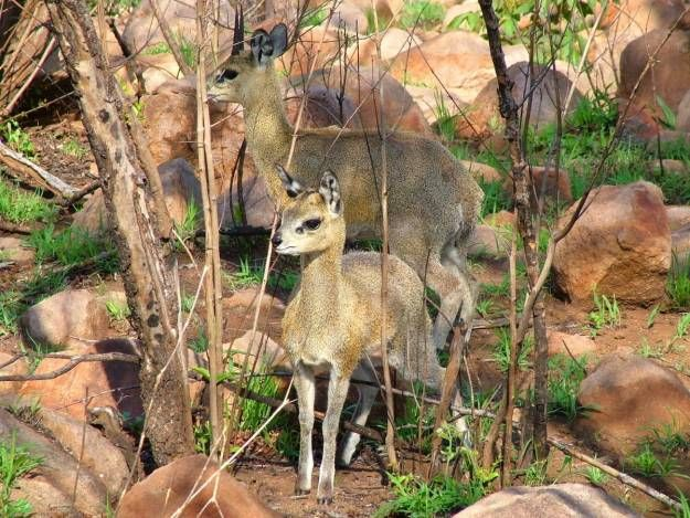 A young Klipspringer antelope enjoys the morning sunlight with its mother in Kruger National Park.
