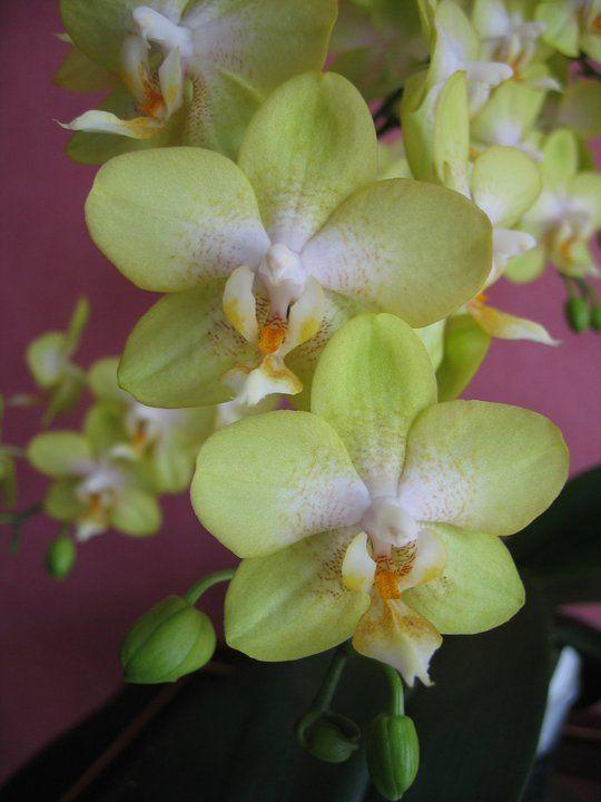 162 mejores im genes sobre orqu deas cuidados y for Cuidados orquideas interior