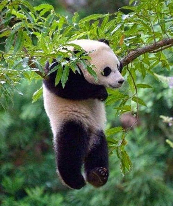 pandas love to hang in trees!