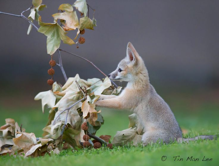 Fox Pup sitting up photo Tin Man Lee