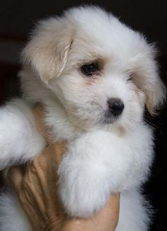 Another Coton de Tulear puppy...I love them and shall have one someday soon.
