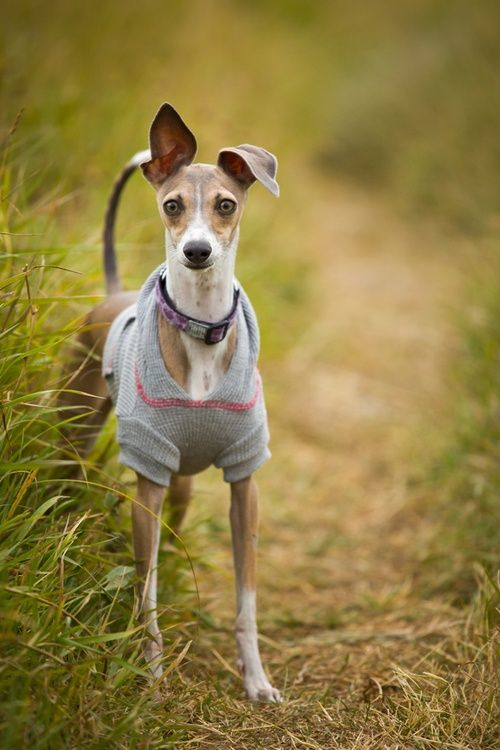 1000+ images about Cute Italian Greyhound clothes on ...