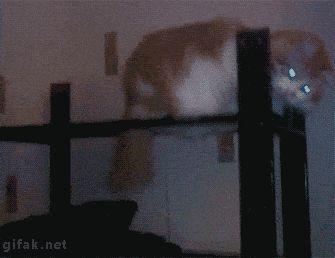 Cat fedara