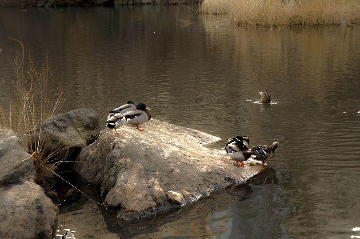 New York Ducks