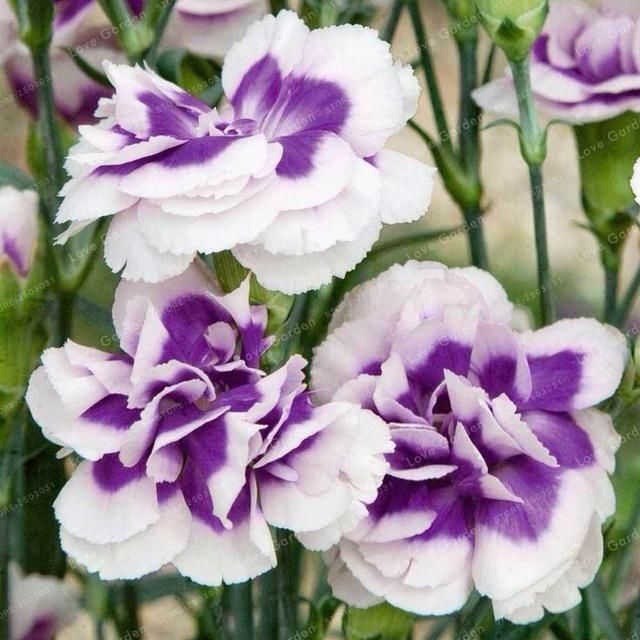 Dianthus Caryophyllus Flower Seeds 100 Pcs Flowers Flower Seeds Beautiful Flowers