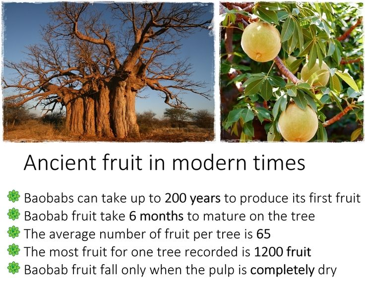 Is there something magical about eating the fruit from such ancient trees?  Read the full story here: http://www.ecoproducts.co.za/baobab-science/boabab-ancient-fruit-in-modern-times