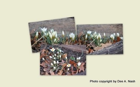 Crocus 'Snow Bunting' the first to bloom every year.: Winter, Seasons, Snow Bunting, Buntings, Bloom, Year, Crocus Snow