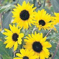 Bunga Matahari Alchemy