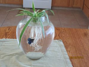 Beta fish and spider plants - betas will eat from the roots. Plant and pet all in one!
