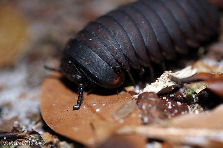 Black pill millipede