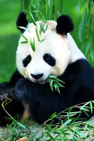 panda bear having a snack. I also love panda bears!!!