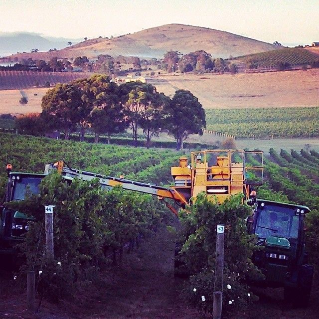 Early morning harvest at De Bortoli Wines Yarra Estate