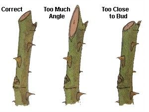 Pruning Cut Angle for Roses