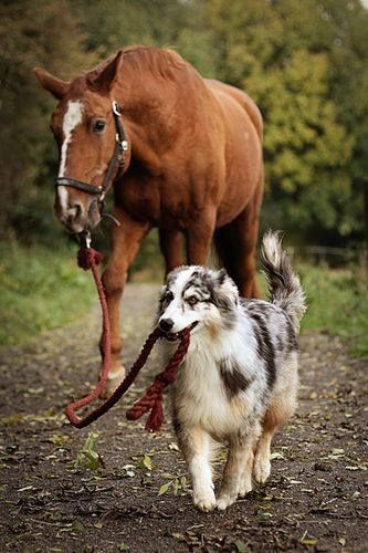 Wish my dog could do that without biting the horse.