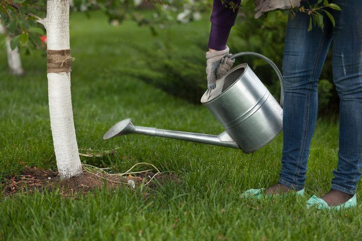 Уход за черешней – советы по подкормке, поливу, обрезке и защите от мороза | сад