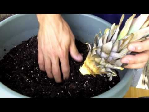 How to grow a pineapple plant.  Will take about 1 year for it to mature and each plant will only produce 1 pineapple.