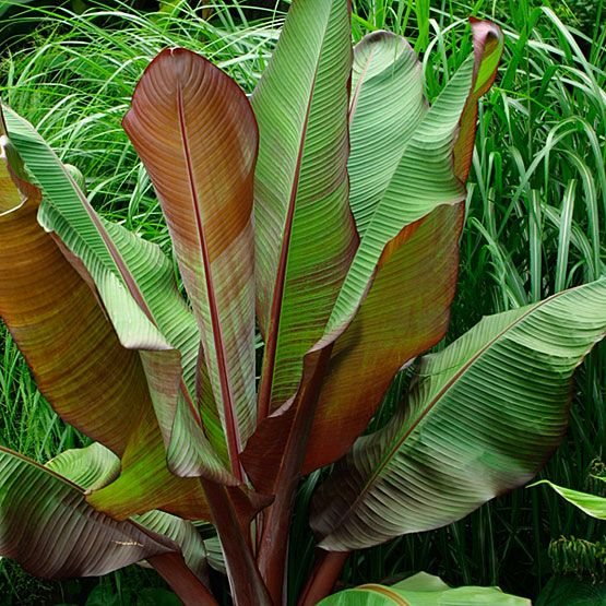 Ensete ventricosum 'Maurelii' (Red banana, Abyssinian banana, Ethiopian banana) - Fine Gardening Plant Guide
