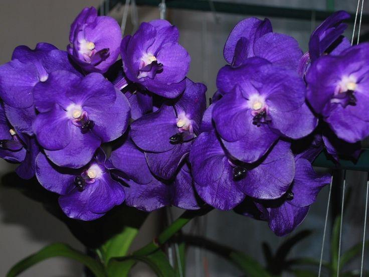 květinové obrazy, orchidejí tapety, close-up vector, fialové pozadí