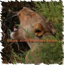 Kenya safari tour visiting wildlife, scenery and tribal highlights of entire Kenya.  http://www.naturaltoursandsafaris.com/nairobi_samburu_mount_kenya_aberdares_lake_nakuru_masai_mara_lake_naivasha_amboseli_tsavo_west_12_days_11_nights.php