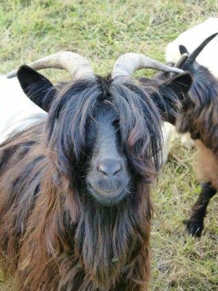 Hippy goat 2015.