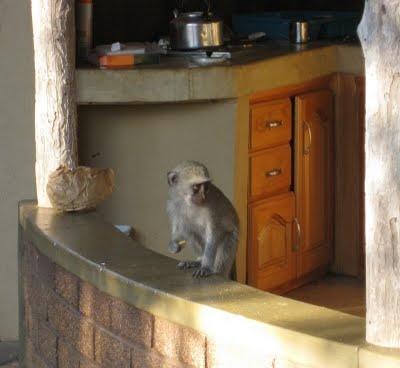 Vervets raiding a neighbor's outdoor kitchen at Satara rest camp.