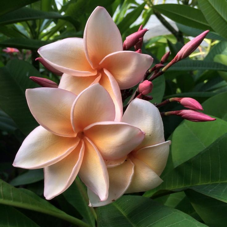 Pink Plumeria from Hawaii