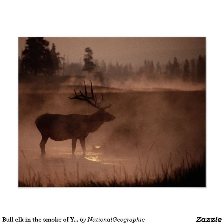 Bull elk in the smoke of Yellowstone Fires of 1988 Poster http://www.zazzle.com/bull_elk_in_the_smoke_of_yellowstone_fires_of_1988_poster-228259913375806326?CMPN=shareicon&lang=en&social=true&view=113381087925757000&rf=238588924226571373