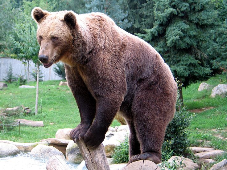 25+ best ideas about Brown bear facts on Pinterest | Bears, Cute ...