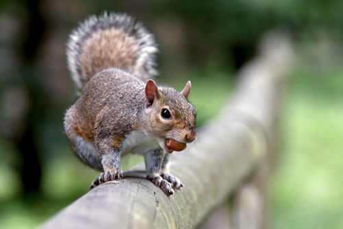 tree squirrel - Google Search