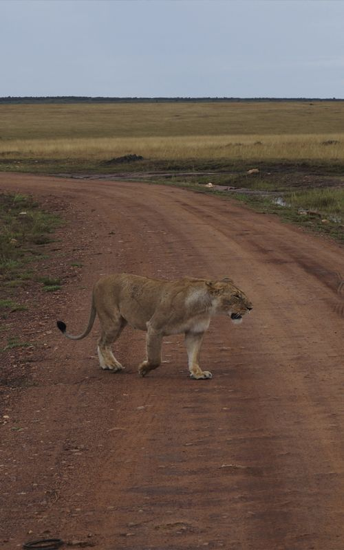 God save the queen! La reina de África en todo su esplendor. Organiza tu safari a Kenia, Masai Mara, con los mejores consejos de viaje en www.espressofiorentino.com
