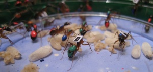Chipping ants to understand colonies