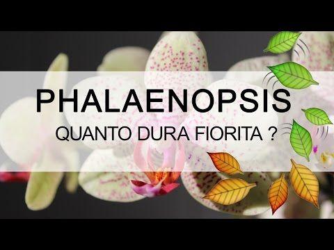 Q&A Quanto dura fiorita un orchidea Phalaenopsis ? - YouTube