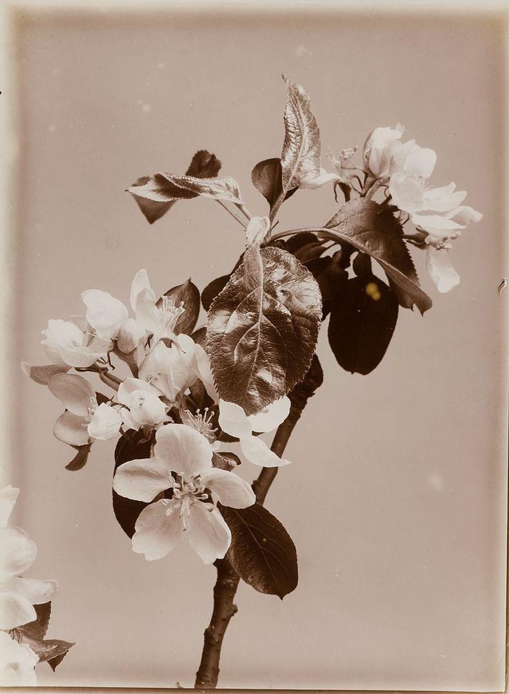 Apfelblüte | Wilhelm Weimar | 1898-1903 | Museum für Kunst und Gewerbe Hamburg | CC0