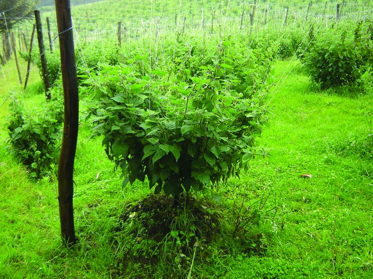 Plantación de uchuva en Machetá