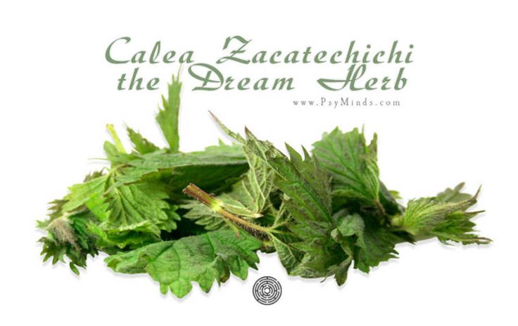 Calea Zacatechichi the Dream Herb - @psyminds17