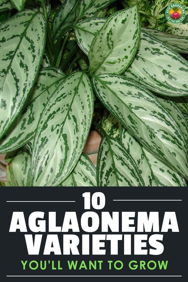 10 Aglaonema Varieties You Ll Want To Grow In 2020 Chinese Evergreen Plant Evergreen Plants Plants