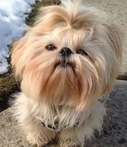 Baby Shih Tzu Puppies for Sale in NYC | Baby Face Shih Tzu
