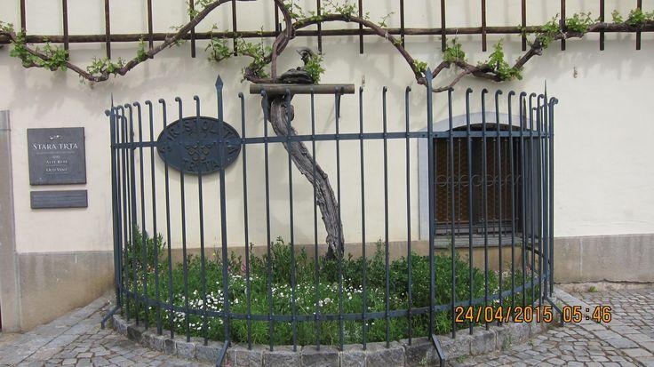 **Stara Trta (the oldest grape vine in the world, museum, wine tasting) - Maribor