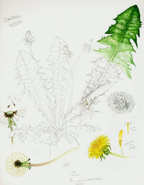 dandelion | Botanical sketchbook studies of dandelion by Lizzie Harper