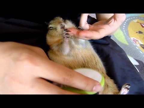 ブラッシングが好きなリチャードソンジリス  Some people brushed a sleeping prairie dog. Always a good idea.