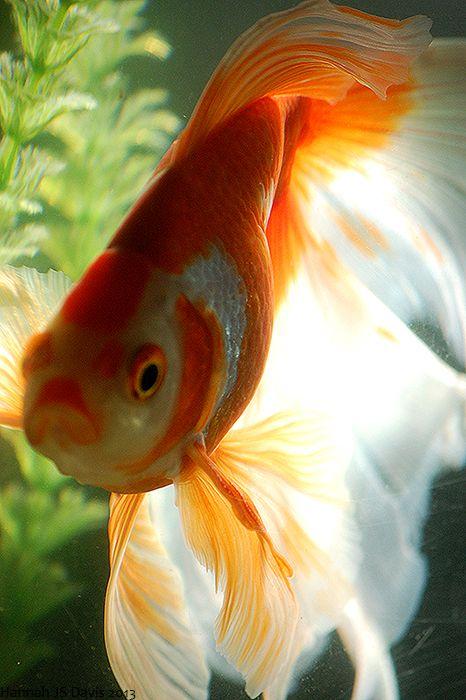Phan - Goldfish ~ Veiltail {tae}