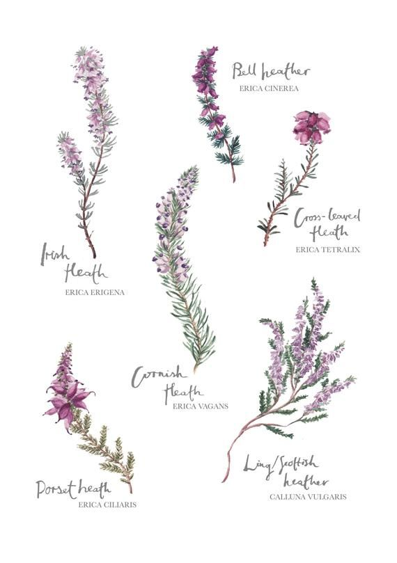 Heather Botanical Print Watercolour Painting Illustration Etsy Scottish Tattoos Scotland Tattoo Wildflower Tattoo