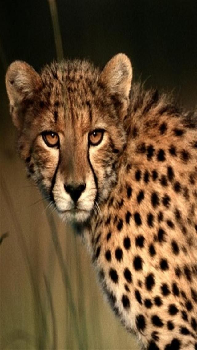 undefined Cheetah Backgrounds For IPhone (13 Wallpapers) | Adorable Wallpapers