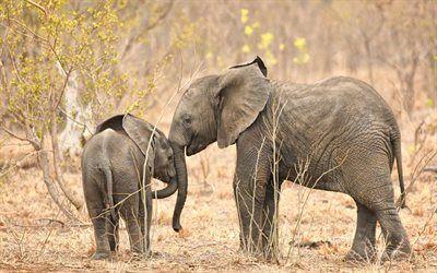 壁紙をダウンロードする 小さいゾウ, アフリカ, 大きなゾウ, 野生動物, ゾウ