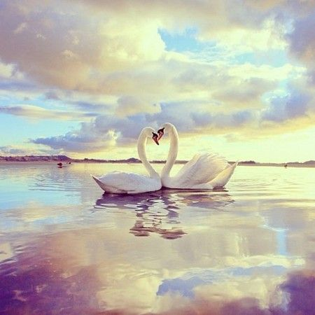 swans in love                                                       …