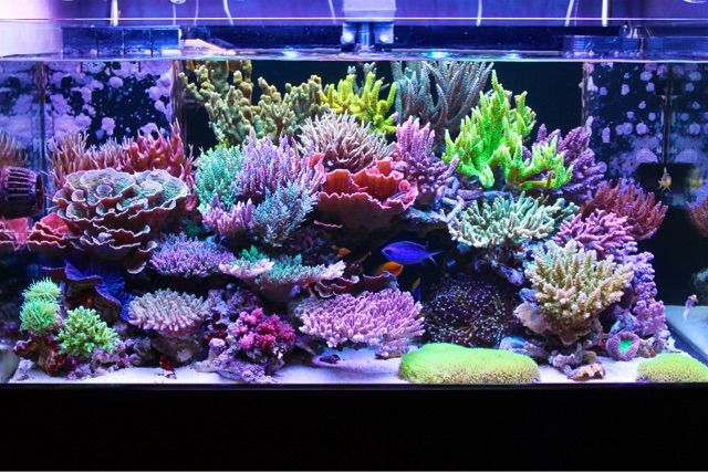 SPS corals are mesmerizing animalsthat we easily become addicted to. Thepursuit to constantly challengeour reefkeeping abilities keeps us
