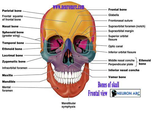 Более 20 лучших идей на тему «sphenoid bone» на pinterest, Human Body